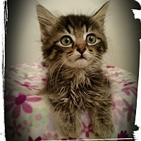 Adopt A Pet :: Lynx - Richmond, VA