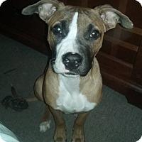Adopt A Pet :: Bandit - Adoption Pending - West Allis, WI