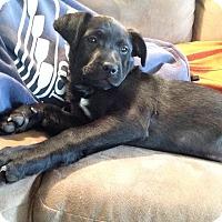 Adopt A Pet :: Leia - Dripping Springs, TX