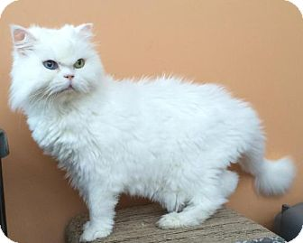 Oriental Cat for adoption in Alpharetta, Georgia - Jules