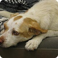 Adopt A Pet :: Athena - Groton, MA
