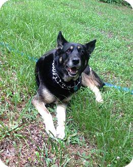 German Shepherd Dog Dog for adoption in Greensboro, North Carolina - Angel(CL)