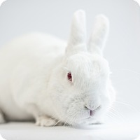 Adopt A Pet :: Hatfield - Los Angeles, CA
