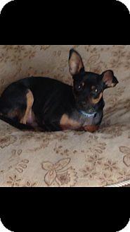 Miniature Pinscher Mix Dog for adoption in West Palm Beach, Florida - Robbie