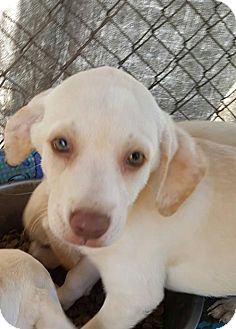 Labrador Retriever Dog for adoption in Ringoes, New Jersey - Puppies - Golden Lab