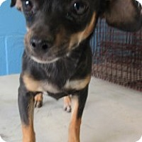 Dachshund/Chihuahua Mix Puppy for adoption in Nogales, Arizona - 65951