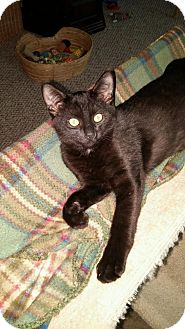 Domestic Shorthair Kitten for adoption in Warren, Michigan - Leon