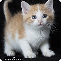 Adopt A Pet :: Sweet Potato - Nashville, TN