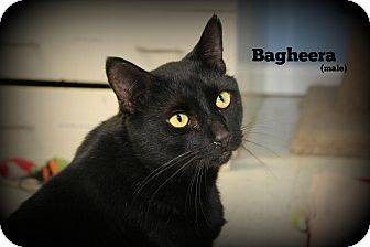 Domestic Shorthair Cat for adoption in Glen Mills, Pennsylvania - Bagheera