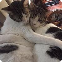 Adopt A Pet :: Milo - Fenton, MO