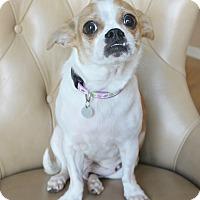 Adopt A Pet :: Miko-Chi/Pug/Peke- Turn-key - Yorba Linda, CA