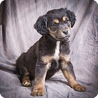 Adopt A Pet :: BRAXTON - Anna, IL
