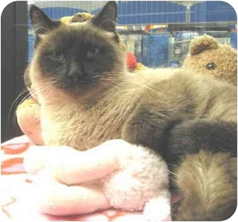 Siamese Cat for adoption in Mesa, Arizona - Oreo