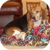 Beagle Mix Dog for adoption in Novi, Michigan - Bum