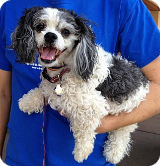 Pekingese/Poodle (Miniature) Mix Dog for adoption in Phoenix, Arizona - Panda