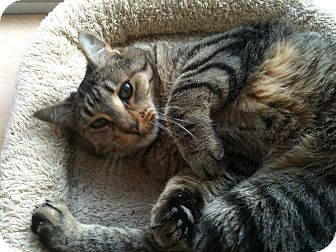 Domestic Shorthair Cat for adoption in Chicago, Illinois - Tweener