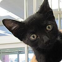 Adopt A Pet :: Puma - Riverhead, NY