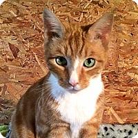 Adopt A Pet :: Pumpkin - Victor, NY