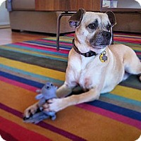 Pug Mix Dog for adoption in Austin, Texas - Rigby