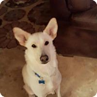 Adopt A Pet :: SIERRA - SAN ANTONIO, TX