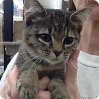 Adopt A Pet :: Mewsette - Warren, OH