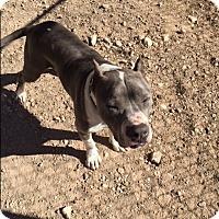 Adopt A Pet :: Mr. Peabody - Las Vegas, NV