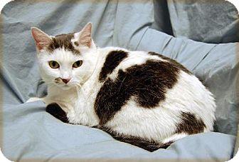 Domestic Shorthair Cat for adoption in Fullerton, California - Mitzi