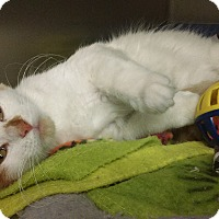 Adopt A Pet :: Twinkie - Whitestone, NY