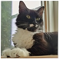 Domestic Mediumhair Cat for adoption in Alpharetta, Georgia - Roxy (CL)
