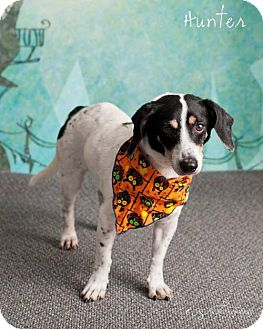 Jack Russell Terrier Dog for adoption in Chandler, Arizona - HUNTER