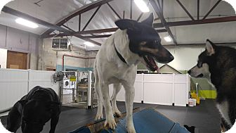 Australian Cattle Dog Mix Dog for adoption in Salem, Oregon - Eddie