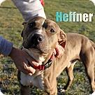 Adopt A Pet :: Hefner at Hazel Park