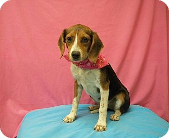 Beagle/Terrier (Unknown Type, Small) Mix Dog for adoption in Poteau, Oklahoma - CANDY