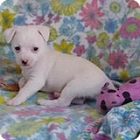 Adopt A Pet :: Marshmallow - Manhattan Beach, CA
