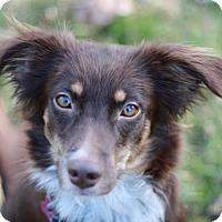 Adopt A Pet :: Lillian - Mini Aussie Mix! - Cookeville, TN