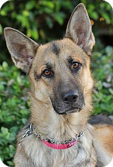 German Shepherd Dog Dog for adoption in Los Angeles, California - Marin von Mirow