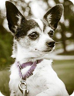 Chihuahua Dog for adoption in Bridgeton, Missouri - Emmy-Adoption pending