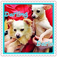 Adopt A Pet :: Darla - Los Angeles, CA
