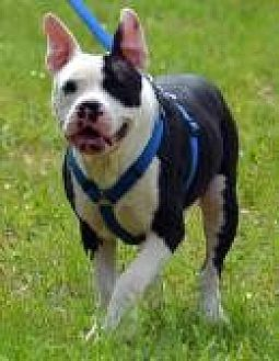 Pit Bull Terrier Mix Dog for adoption in Jackson, Mississippi - Trojan