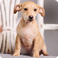 Adopt A Pet :: Flan - Portland, OR