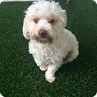 Adopt A Pet :: Teddy - Redondo Beach, CA