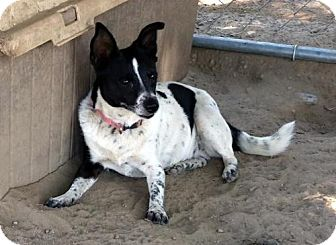 Jack Russell Terrier Mix Dog for adoption in Lemoore, California - Sweet Pea