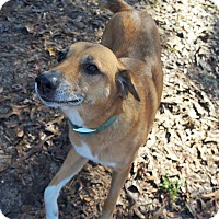 Hound (Unknown Type)/Labrador Retriever Mix Dog for adoption in Ravenel, South Carolina - Willie