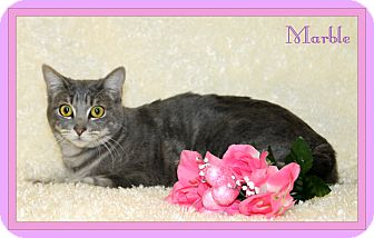 Domestic Shorthair Cat for adoption in Tracy, California - Marble