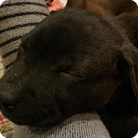 Adopt A Pet :: Sassafras Adoption pending - Manchester, CT