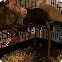 Adopt A Pet :: Weasley boys - Brooklyn, NY