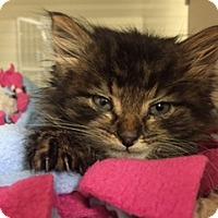 Adopt A Pet :: Sylvester - Herndon, VA