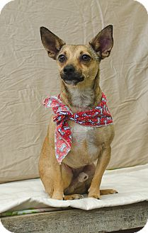 Chihuahua/Terrier (Unknown Type, Small) Mix Dog for adoption in Poteau, Oklahoma - COMET
