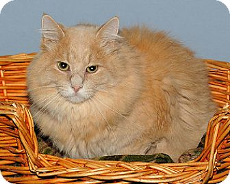 Domestic Longhair Cat for adoption in Gatineau, Quebec - Sushi