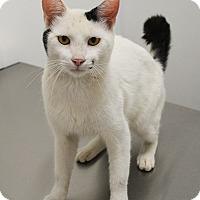 American Bobtail Cat for adoption in Springfield, Illinois - Bobbie